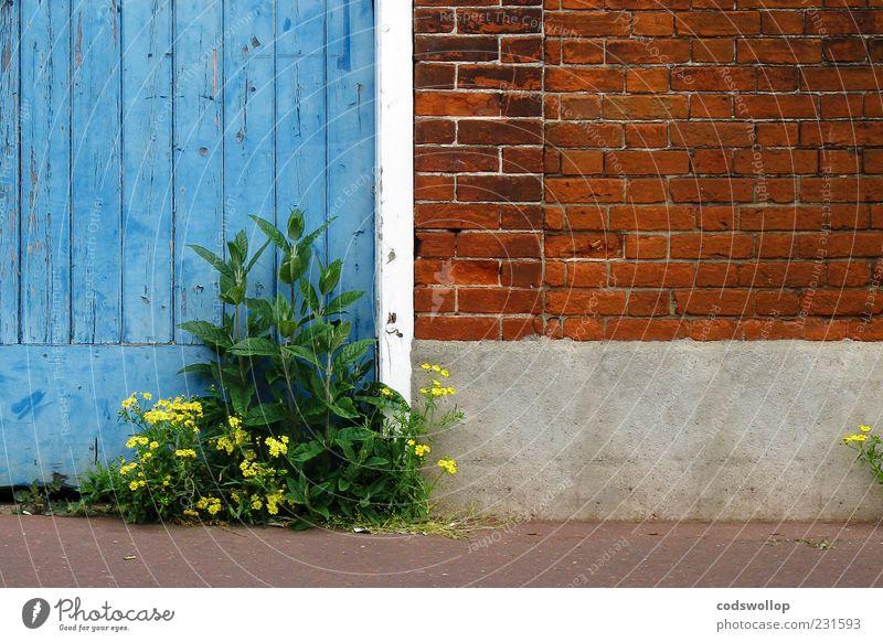 encounter blau Pflanze Blatt Wand Blüte Mauer Tür geschlossen trist Vergänglichkeit Verfall Hinterhof Überleben Straßenrand Unkraut Wildpflanze