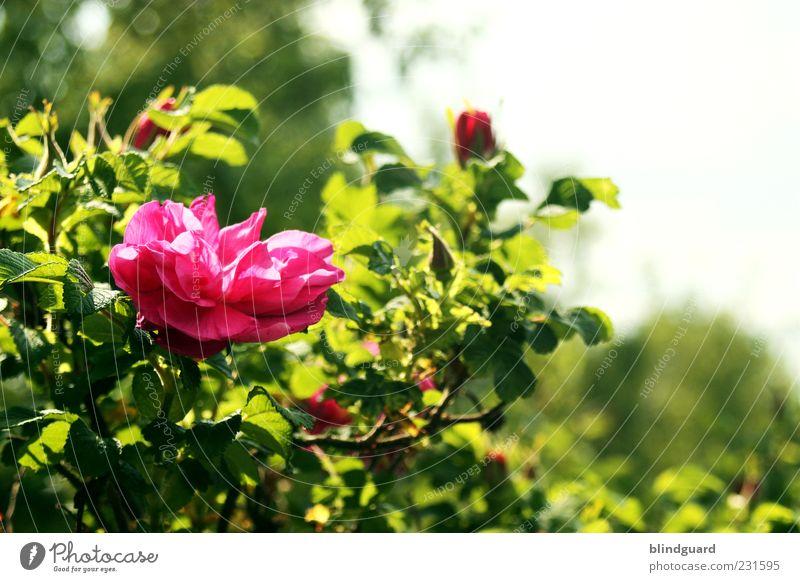 Love Conquers All Natur grün Pflanze Sommer rosa natürlich Rose