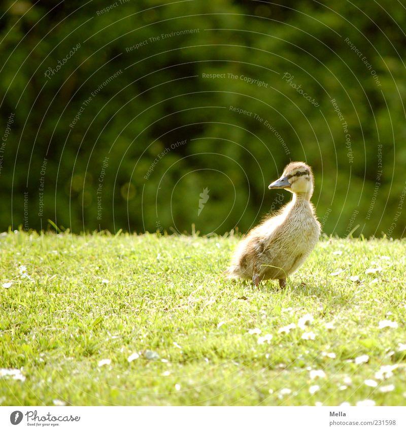 Ja, is denn scho' Ostern? Umwelt Natur Tier Frühling Gras Wiese Vogel Ente Entenküken Küken 1 Blick stehen klein natürlich niedlich grün Farbfoto Außenaufnahme