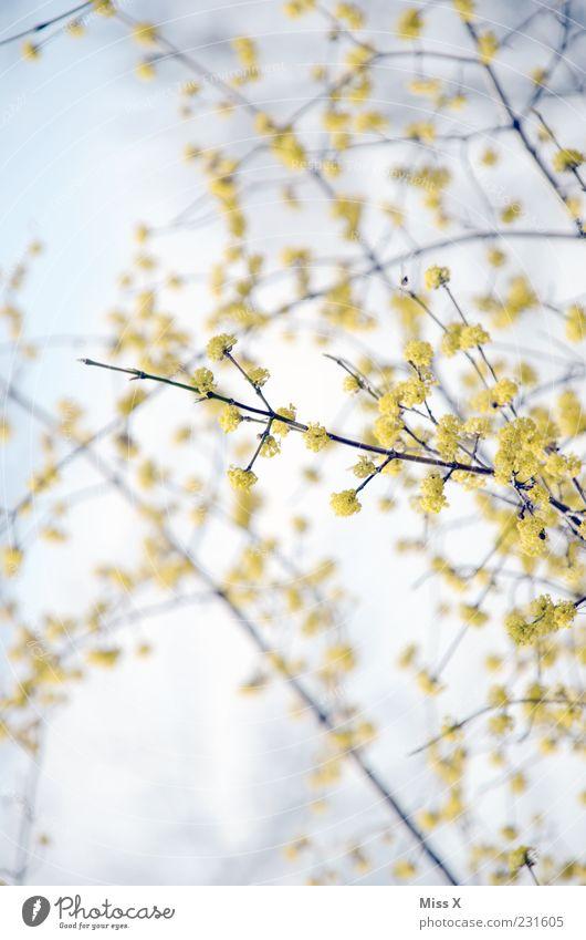 Früüüühling Himmel Baum Pflanze gelb Blüte Frühling hell Wachstum Blühend Schönes Wetter Duft Frühlingsfarbe