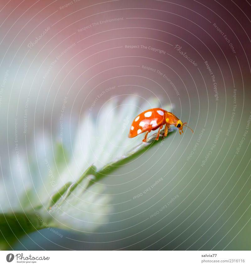 Ziel erreicht Umwelt Natur Frühling Sommer Pflanze Blatt Tier Käfer Insekt Marienkäfer 1 krabbeln klein niedlich oben grau grün orange einzigartig entdecken