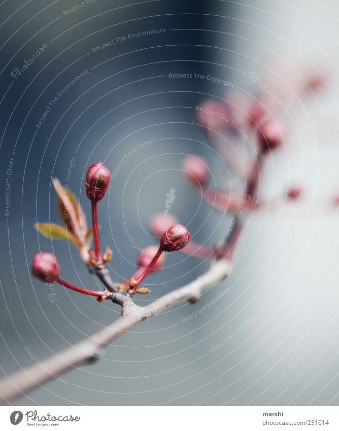 Frühlingsboten Natur rot Pflanze Sommer Blatt Ast Blühend Blütenknospen