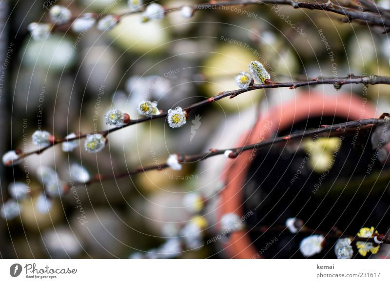 Kurz vorm Frühling Umwelt Natur Pflanze Sonnenlicht Sträucher Blüte Topfpflanze Weide Weidenkätzchen Zweig Garten Park Blühend Wachstum Blumentopf Stein