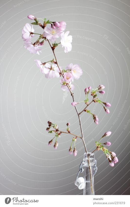 Kirschwasser Natur Pflanze Blume rosa Kirschblüten Flasche Flaschenhals Blüte Blütenknospen Blühend Dekoration & Verzierung Vase Farbfoto Innenaufnahme