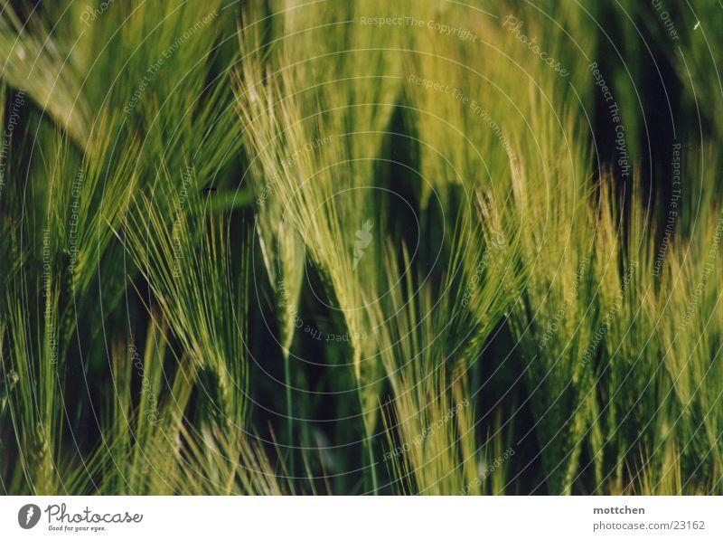 gerstennah' Getreide Korn Gerste unreif
