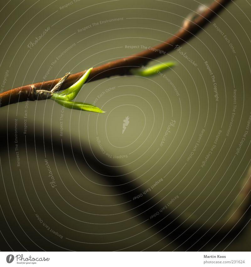 Neuanfang Natur Pflanze Blatt Blühend Wachstum ästhetisch frisch braun grün Frühlingsgefühle Gesundheit Hoffnung Leben Stil Vergänglichkeit Zeit Optimismus