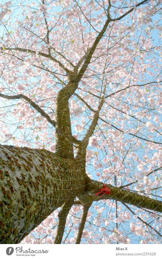 Kirschbaum Natur Wolkenloser Himmel Frühling Schönes Wetter Baum Blatt Blüte Blühend Duft Wachstum groß rosa Ast Zweige u. Äste Kirschblüten Zierkirsche