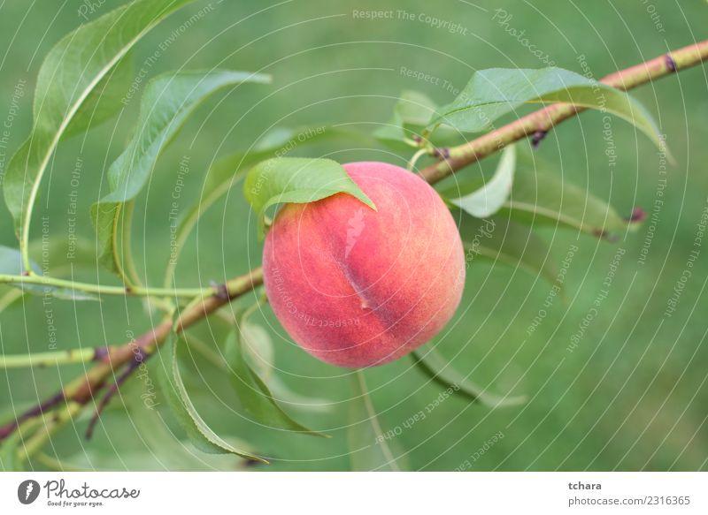 Reife rote Pfirsichfrucht Frucht Ernährung Diät Sommer Garten Gartenarbeit Menschengruppe Natur Pflanze Baum Blatt Wachstum frisch hell lecker natürlich saftig