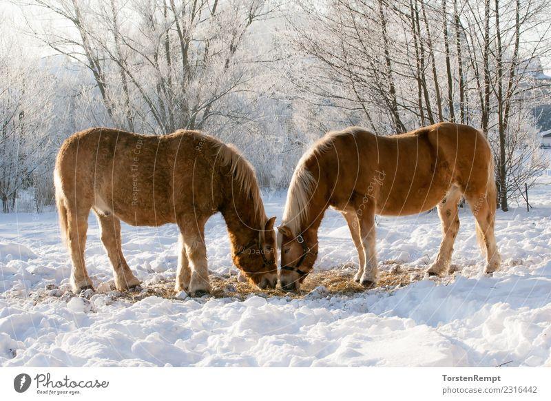 Zwei Pferde Winter Natur Tier Nutztier 2 Herde Fressen braun weiß Winterweide eis schnee zwei Außenaufnahme Farbfoto Menschenleer Tag Zentralperspektive Totale