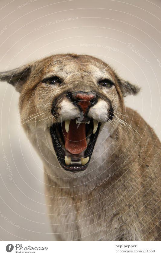 Miezekatze Tier Wildtier Katze Tiergesicht 1 Aggression bedrohlich Kraft Puma Zähne Landraubtier Farbfoto Nahaufnahme Detailaufnahme Hintergrund neutral