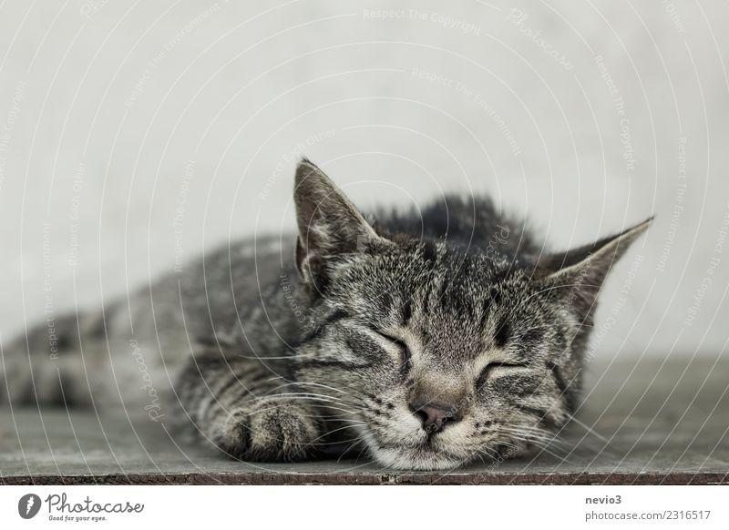 Schlafende getigerte Katze schön Erholung Tier ruhig Tierjunges klein grau braun Zufriedenheit liegen Coolness schlafen weich Haustier Fell