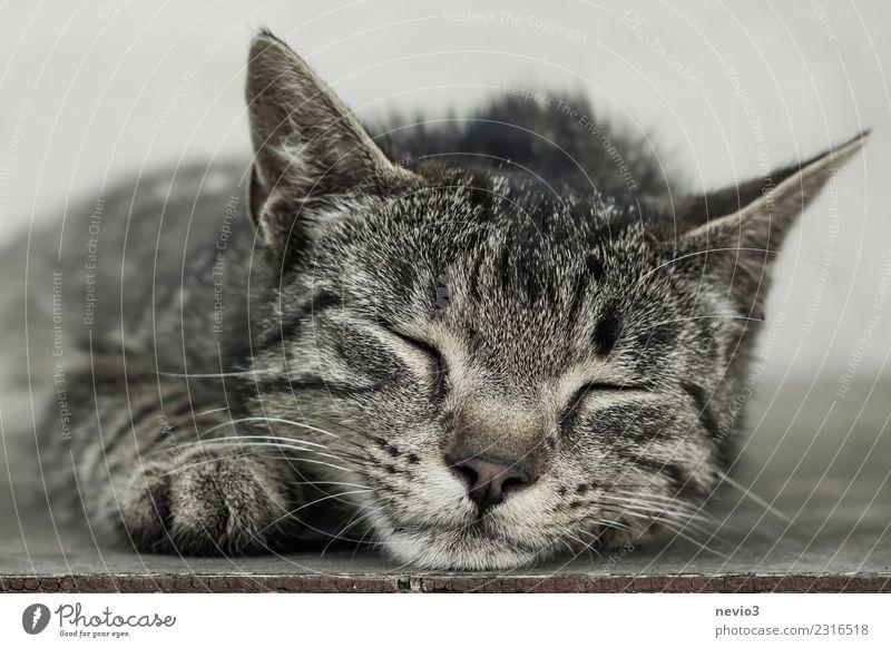 Schlafende getigerte Katze Tier Haustier Nutztier Tiergesicht Fell Krallen Pfote 1 liegen schlafen schön braun grau Zufriedenheit Erholung Glück Tigerfellmuster