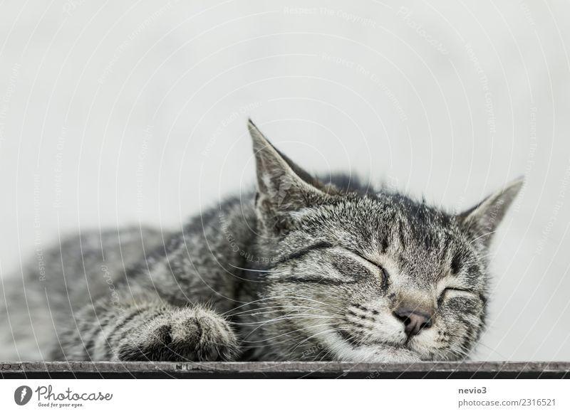 Katze liegt schlafend auf dem Boden Tier Haustier Nutztier Tiergesicht Fell Krallen Pfote 1 Tierjunges braun grau Hauskatze Tigerkatze Tigerfellmuster Erholung