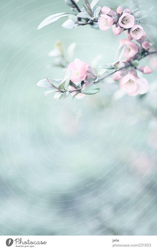quitten in bloom Natur grün schön Pflanze Blatt Blüte hell rosa zart Zweig Frühlingsgefühle Quittenblüte