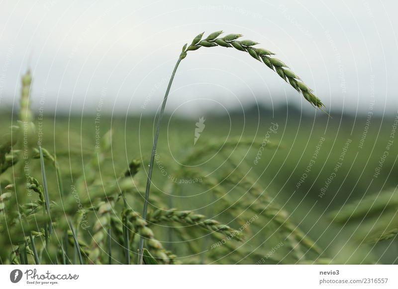 Dinkel Sommer Umwelt Natur Landschaft Pflanze Erde Gras Nutzpflanze exotisch Feld gelb grün Gluten Getreidefeld Getreideernte Ernte Landwirtschaft Feldfrüchte