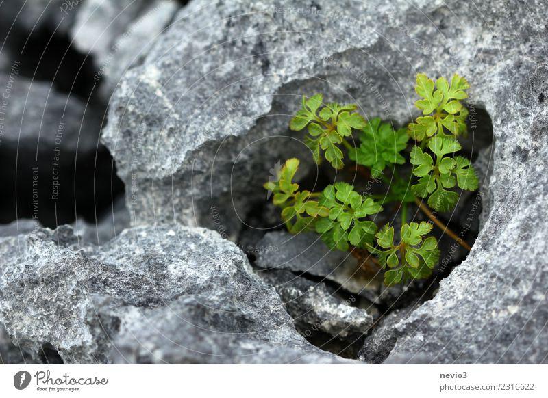 Kalkstein in den Burren in Irland nahe Galway Ferien & Urlaub & Reisen Tourismus Ausflug Umwelt Natur Landschaft Erde Pflanze Wildpflanze Hügel Berge u. Gebirge