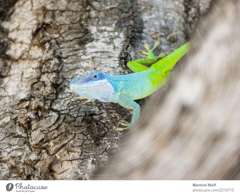 Anolis allisoni Tier Baum Kuba Wildtier Echte Eidechsen Gecko 1 blau grün Natur Neugier Cienfuegos Mittelamerika Provinz Cienfuegos leuchten exotisch giftgrün