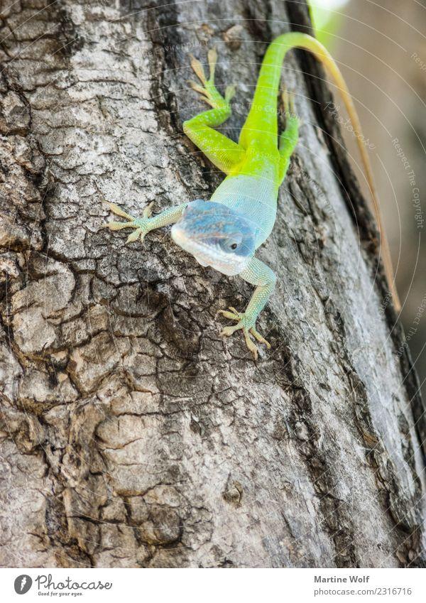 Anolis allisoni 2 Tier Baum Wildtier Echte Eidechsen Gecko Leguane 1 beobachten exotisch natürlich blau grün Natur Cienfuegos Kuba Mittelamerika