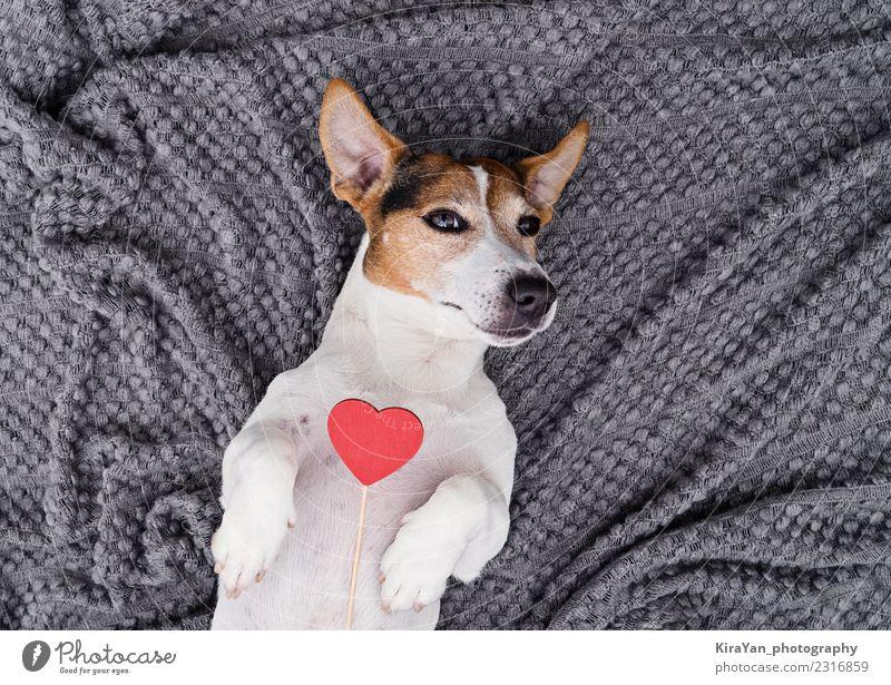 Liebenswerter Hund mit rotem Herzen Lifestyle Valentinstag Geburtstag Familie & Verwandtschaft Freundschaft Tier Haustier machen klein lustig niedlich oben klug