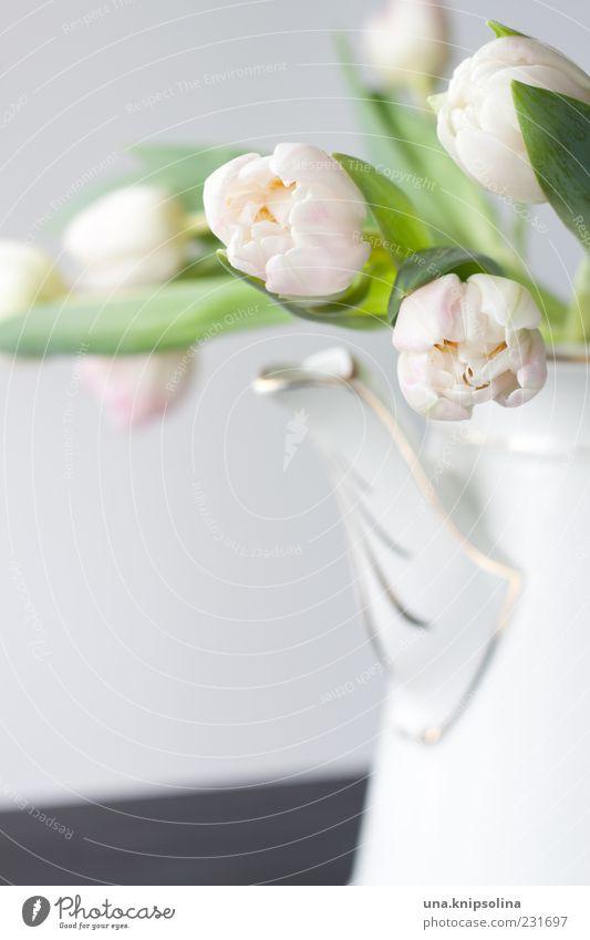 sonntag Kannen Dekoration & Verzierung Blume Tulpe Blüte Blühend rosa weiß Farbfoto Innenaufnahme Menschenleer Hintergrund neutral Schwache Tiefenschärfe