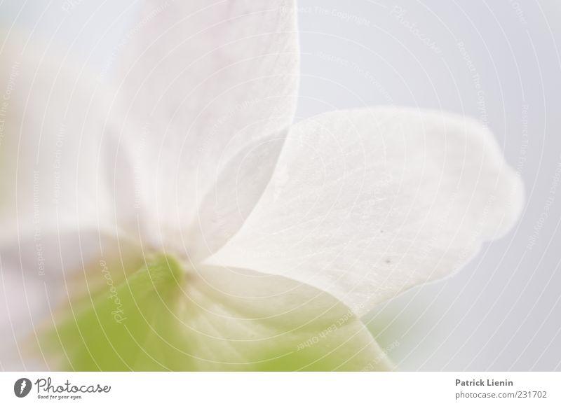 see through it Natur weiß schön Pflanze Blume Umwelt Blüte Frühling Luft hell weich Urelemente Botanik Blütenblatt Buschwindröschen