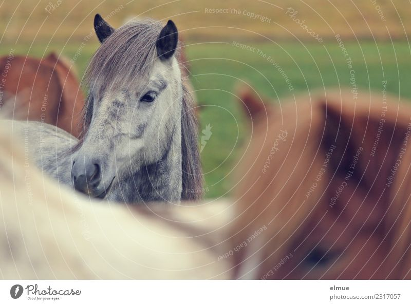 Isländer Insel Island Pferd Schimmel Island Ponys Kleinpferd Mähne Ohr Nüstern Kommunizieren Blick stehen elegant schön Glück Zufriedenheit Vertrauen Tierliebe