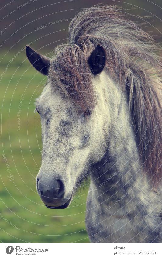 wilder Isländer Island Pferd Island Ponys Schimmel Mähne Nüstern Ohr Fell sportlich einzigartig schön Glück Tierliebe Romantik Sehnsucht eitel Abenteuer