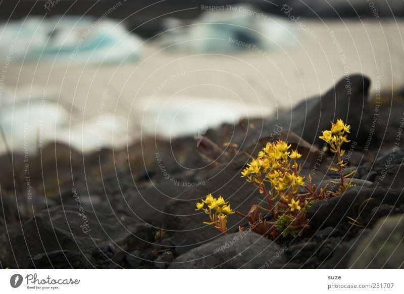 flower power Natur Wasser Pflanze gelb Umwelt Blüte Küste Felsen Klima Wachstum Urelemente Island Moos Gletscher Wildpflanze Gletschereis