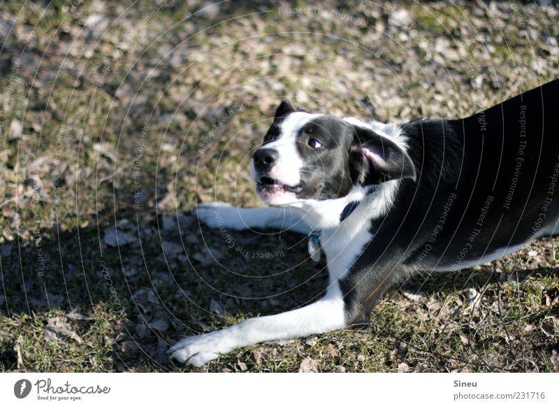 Aufforderung zum Tanz weiß Hund Freude Tier schwarz Spielen lustig wild Fröhlichkeit verrückt Spaziergang Neugier Lebensfreude frech Interesse Haustier