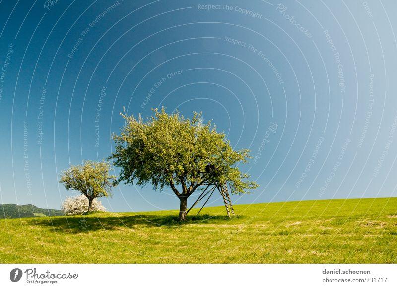 Obstbaum und viel blauer Himmel Himmel Natur blau grün Baum Sommer Wiese Umwelt Landschaft Frühling Schönes Wetter Wolkenloser Himmel Apfelbaum Klima Obstbaum Holzleiter