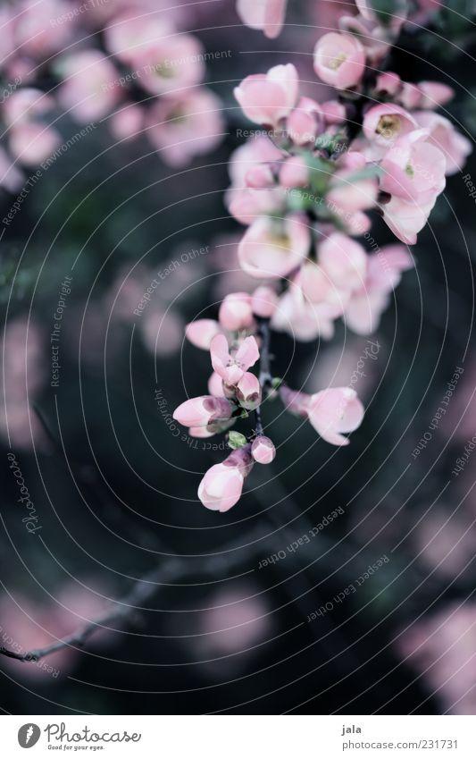 quitten in bloom II Natur Pflanze Frühling Sträucher Blatt Blüte Nutzpflanze schön Frühlingsgefühle Blühend Quittenblüte Farbfoto Außenaufnahme Menschenleer Tag