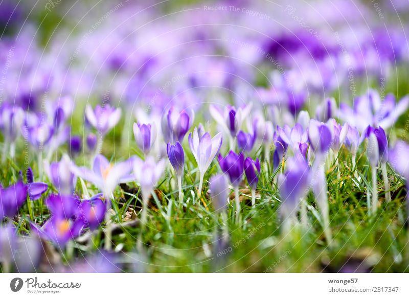 Krokuswiese Natur Pflanze Frühling Blume Gras Krokusse Park Blühend schön klein blau mehrfarbig grün violett Frühlingsgefühle Blumenwiese Frühlingsblume