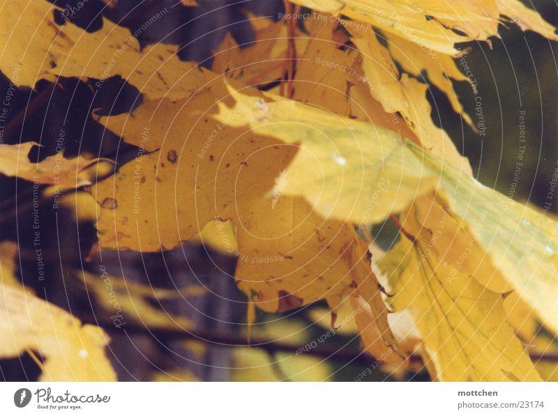 letzter tag Blatt gelb Herbst gold Herbstlaub Ahorn