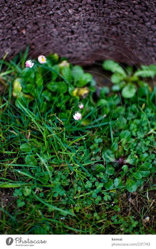 Erwachen Natur grün Pflanze Blatt Wiese Umwelt Gras Blüte Stein Frühling Wachstum Blühend Schönes Wetter Löwenzahn Halm Gänseblümchen