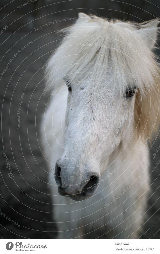 langes weisses Gesicht weiß Tier Freiheit Zufriedenheit stehen Pferd niedlich Tiergesicht Fell Freundlichkeit nah Vertrauen Pony Ponys Schimmel Nutztier