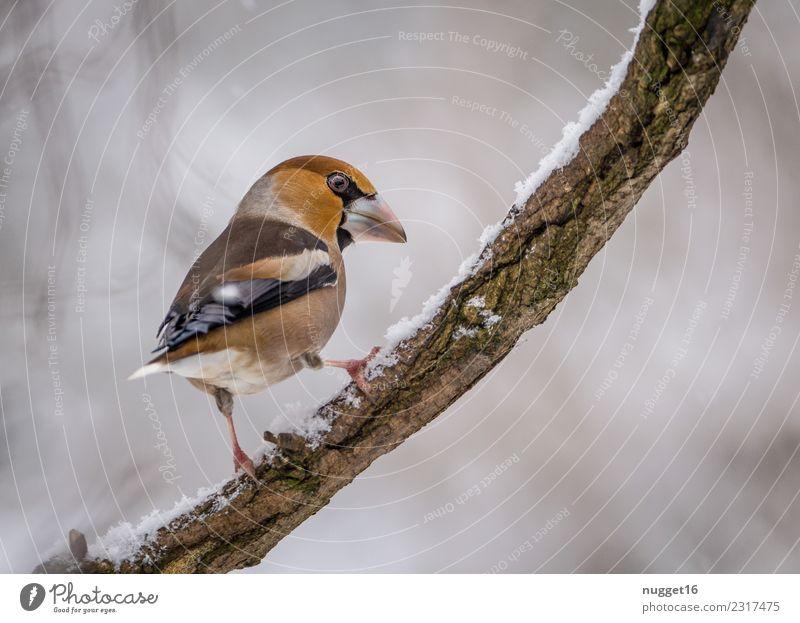 Kernbeißer auf Ast Umwelt Natur Tier Winter Eis Frost Schnee Schneefall Pflanze Baum Garten Park Wald Wildtier Vogel Tiergesicht Flügel Krallen 1 Aggression