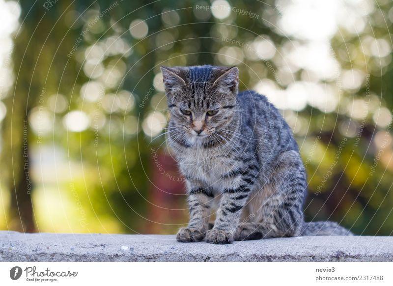 Junge getigerte Katze sitzt auf einer Steinmauer Frühling Tier Haustier Nutztier Tiergesicht 1 sitzen Zufriedenheit Erholung Katzenbaby Hauskatze Katzenkopf