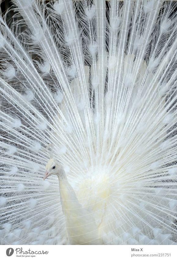 Pfau weiß Tier Vogel ästhetisch Feder Metallfeder Stolz Hochmut Brunft Angeben prächtig Muster Albino Pfauenfeder