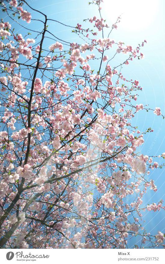 Sonnenschein Natur Frühling Wetter Schönes Wetter Baum Blüte Blühend Duft hell positiv rosa Frühlingstag Zierkirsche Kirschbaum Kirschblüten Farbfoto mehrfarbig