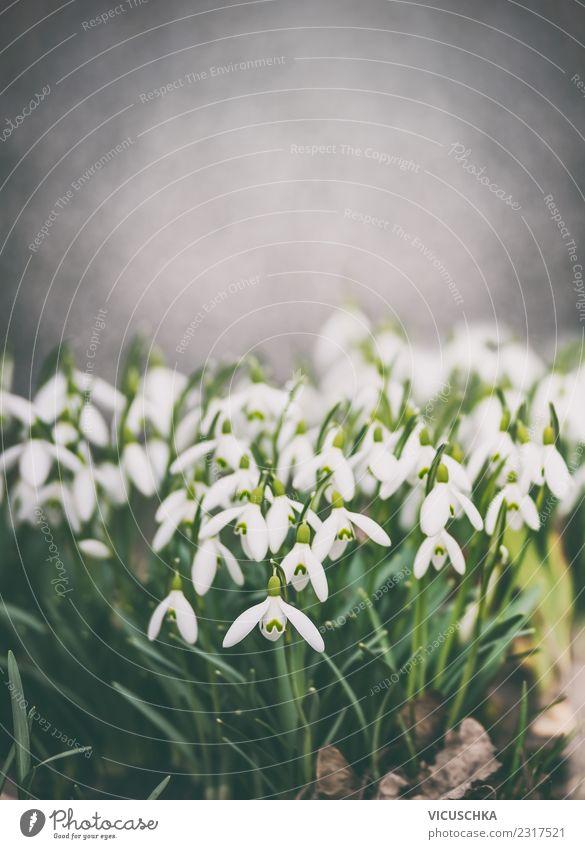 Schneeglöckchen , Frühling Natur Design Sommer Garten Pflanze Blume Park Blühend Hintergrundbild Farbfoto Außenaufnahme Nahaufnahme Textfreiraum oben Tag Abend