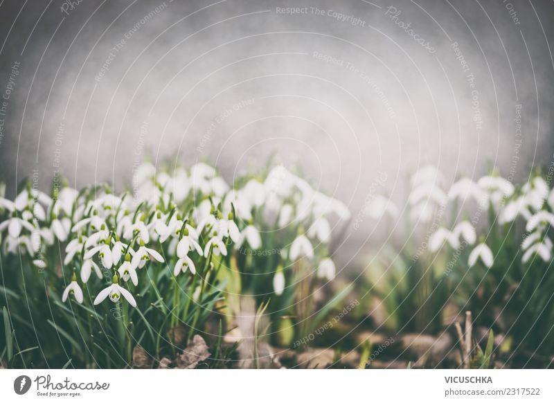 Schneeglöckchen Blumenbeet im Frühlingsgarten Design Sommer Garten Natur Pflanze Blüte Park Blühend Stimmung Frühlingsgefühle Hintergrundbild Farbfoto