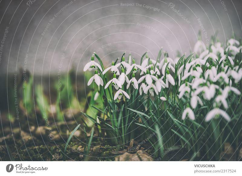 Schneeglöckchen auf Blumenbeet Design Garten Natur Landschaft Pflanze Frühling Blatt Blüte Park Wiese retro grün weiß Hintergrundbild Dämmerung Retro-Farben