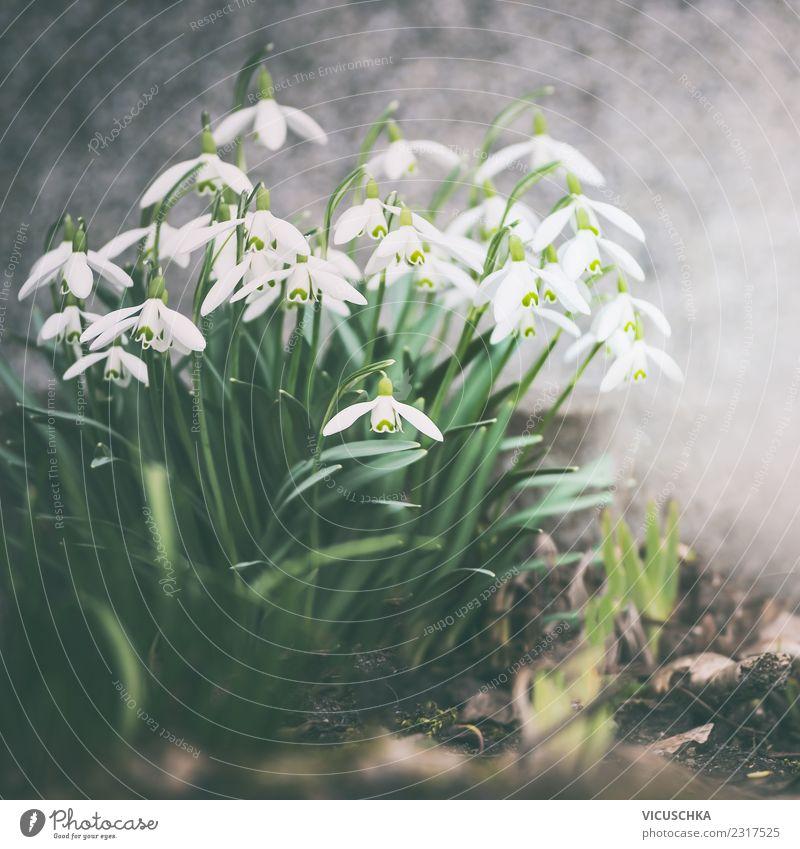 Schneeglöckchen Blütezeit Lifestyle Design Garten Natur Pflanze Frühling Blume Park retro Beet Wand Außenaufnahme Frühlingsgefühle Frühlingsblume Retro-Farben