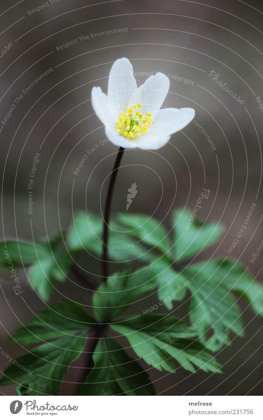""""""" Lonely """" ruhig Umwelt Natur Pflanze Frühling Blume Blatt Blüte Wildpflanze Buschwindröschen Frühlingsblume Anemonen braun gelb grün weiß Farbfoto"""