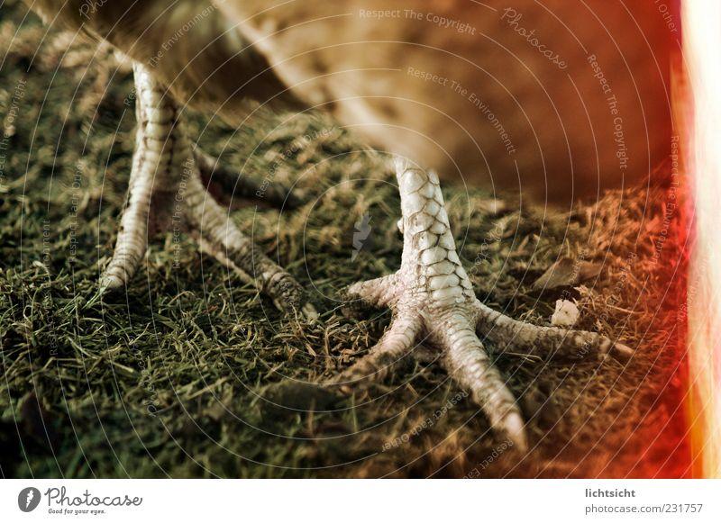 Hahn sieht rot Tier Vogel gehen Tierfuß Boden Biologische Landwirtschaft Haushuhn Nutztier Krallen Fährte Federvieh Tierhaltung Lebensmittel Ernährung