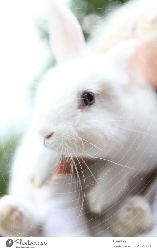 Bin ich zu früh? Tier Haustier Nutztier Fell Hase & Kaninchen 1 schön Trägheit bequem Osterhase Pfote Ohr Nase Angsthase weiß hell Farbfoto mehrfarbig