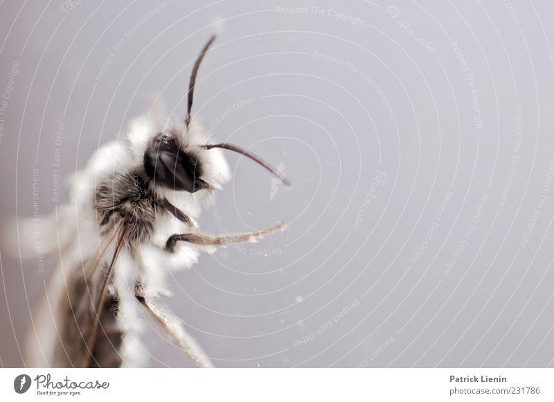 Superintelligence Umwelt Natur Tier Wildtier Tiergesicht 1 schön klein Fühler Auge Beine Facettenauge Flügel Biene erdbiene Farbfoto Innenaufnahme Nahaufnahme