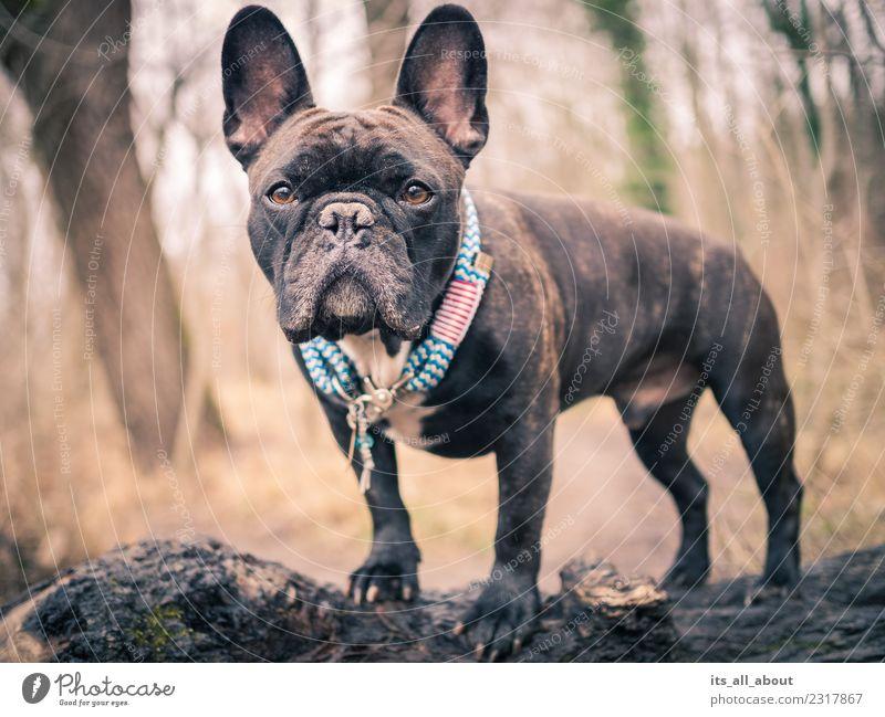 Barnie II Tier Haustier Hund Französische Bulldogge French Bulldog Frenchie Frenchy 1 Blick stehen braun schwarz Farbfoto Gedeckte Farben Außenaufnahme Tag