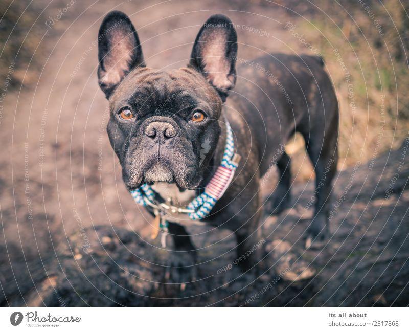 Barnie Tier Haustier Hund französische Bulldogge Frenchie Frenchy 1 dünn braun schwarz Farbfoto Gedeckte Farben Außenaufnahme Textfreiraum links Tag