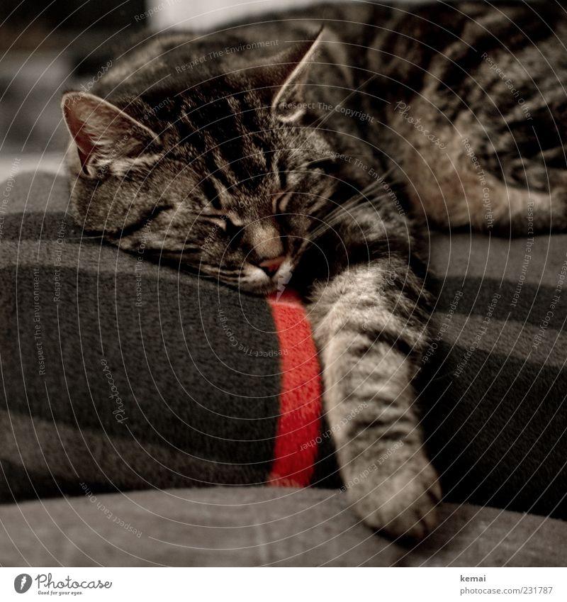Nachbarskatz' Tier Haustier Katze Tiergesicht Fell Pfote Ohr 1 Decke liegen schlafen schön kuschlig grau rot Zufriedenheit Geborgenheit ruhig Müdigkeit